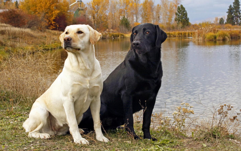 Le labrador retriever, un chien joueur